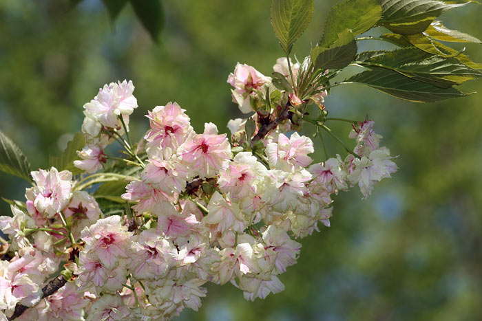 花便り ウコンザクラ