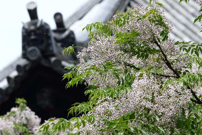 東大寺 センダン(栴檀)1