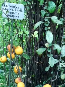 パドヴァ25植物園ビワ