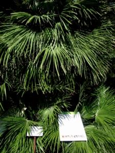 パドヴァ27植物園棕櫚