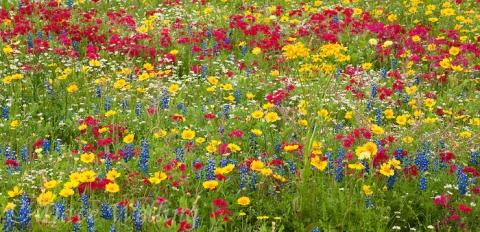 980000002-panoramic-field-of-wildflowers-including-drummonds-phlox-phlox-drummondii-texas.jpg