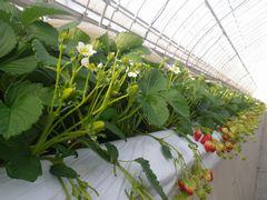 [写真]紅ほっぺの2番花が勢いよく咲いている様子
