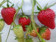 [写真]白マルチを背景に並んでいる赤いイチゴの実