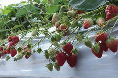 [写真]果房が次々と伸びている紅ほっぺの様子