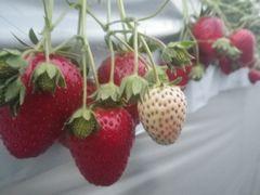 [写真]おいCベリーの2番果の大粒いちごがぶら下がっている様子