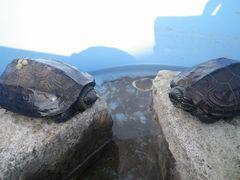[写真]冬眠から目覚めたカメのクロちゃんとトラちゃん