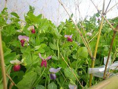 [写真]三郎畑に咲くサヤエンドウの花