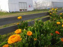 [写真]受付ハウス前で再び咲き始めたキンセンカの花