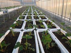 [写真]育苗ハウスに設置したプランターに親苗を植え替えた様子