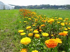 [写真]キンセンカの花畑の様子