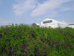 [写真]のぶ子さんの畑に群生するヘアリー・ベッチ(奥に見えるのは受付ハウス)