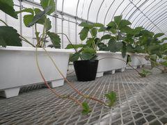 [写真]親苗から出現したランナーが育苗台のエキスパンドルメタル(金網)の上を這うように伸びていく様子