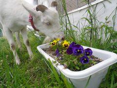 [写真]パンジーの花を食べようとしているアラン