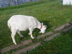 [写真]アランが受付ハウス前の枕木の際に生えている雑草を食べているところ