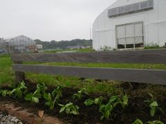 [写真]受付ハウス前の花壇に植えたアスターの苗