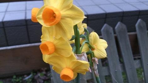 黄房咲水仙
