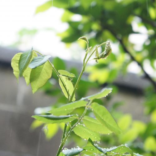 新芽にハナグモ