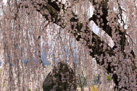 弁天さんの枝垂桜