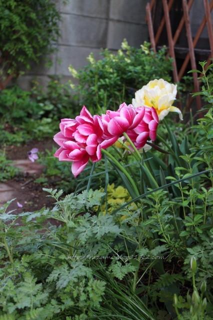 南側半日蔭花壇 ハナミズキの下