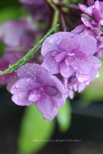 紫陽花 舞孔雀