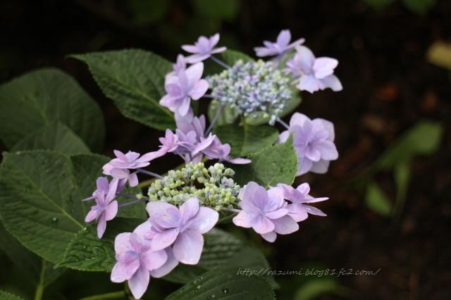 幸手権現堂堤の紫陽花まつり