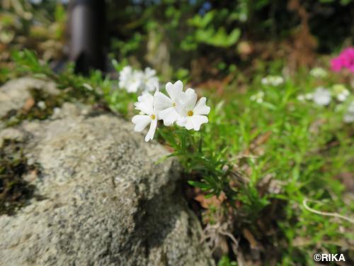 sibazakura2-26/04/15