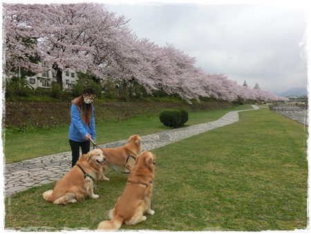 4月2日桜5