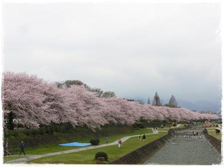 4月2日桜1
