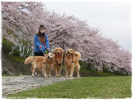 4月2日桜9