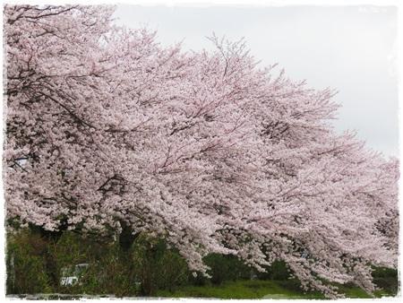 4月2日桜6