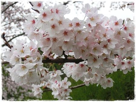 4月2日桜8
