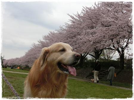 4月2日桜13