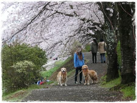 4月2日桜14