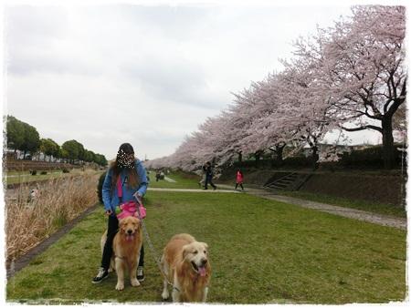 4月2日桜11