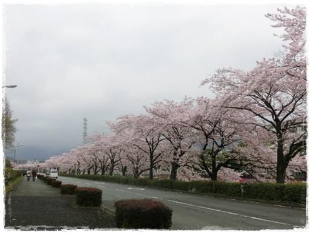4月2日桜16
