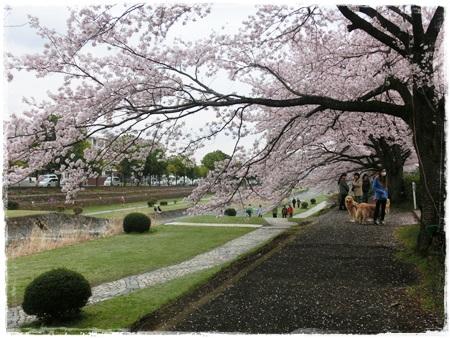 4月2日桜15