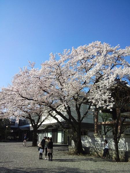 善光寺桜2