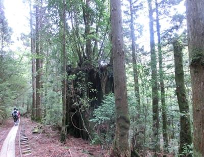 縄文杉コースの杉達