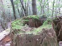 杉の中は空洞