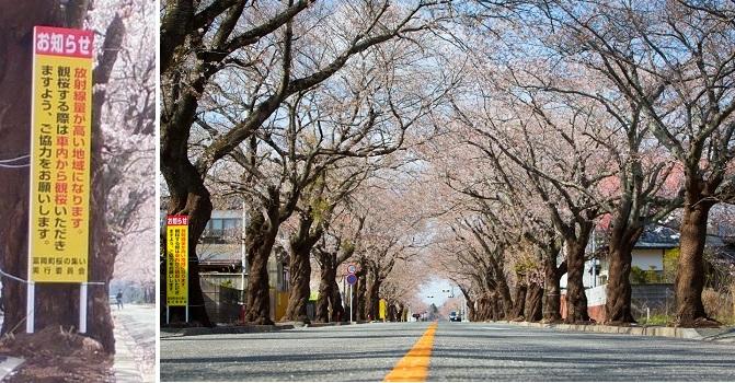 夜の森桜並木-1-