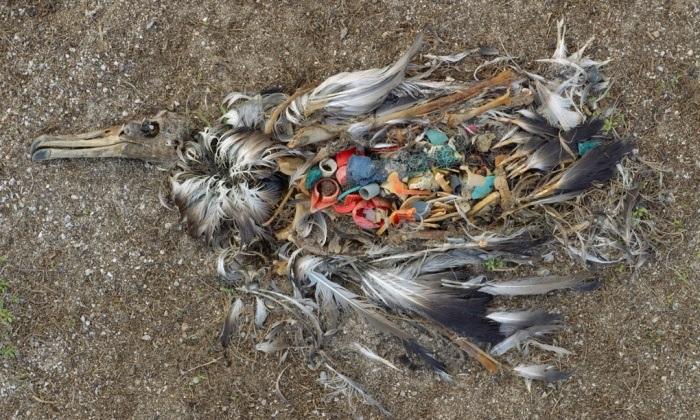 アホウドリの死骸