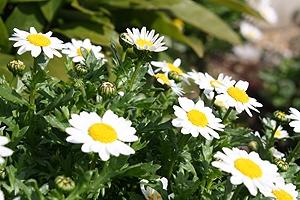 いろんなところで見る白い花1
