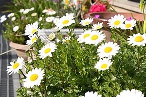 いろんなところで見る白い花2