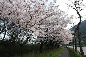 仕事と桜1城山