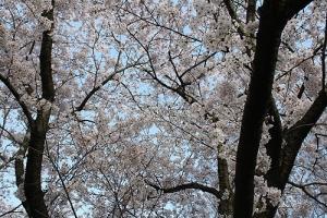 仕事と桜2城山