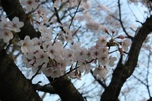 仕事と桜3城山
