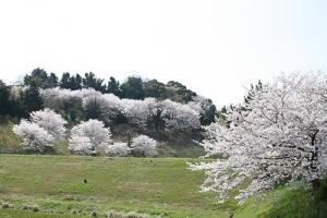 仕事と桜9坂出カントリー