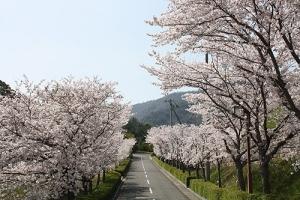 仕事と桜10坂出カントリー