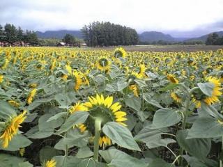 長野牧場ひまわり