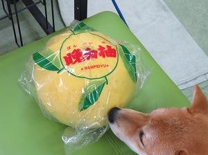 晩白柚 003